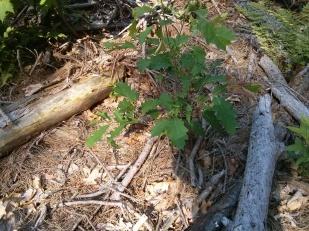 stwcr oak
