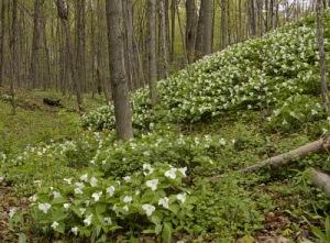 trilliumforest